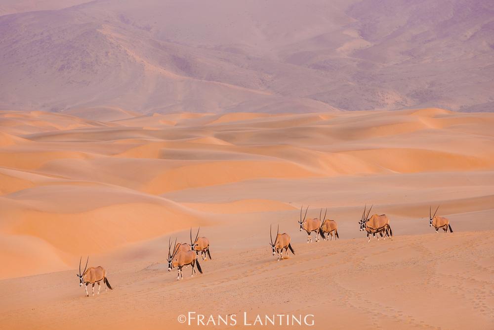 Oryxes in sand dunes, Oryx gazella, Kaokoland, Namibia
