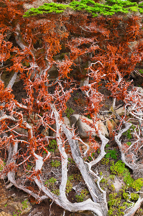 Cypress Tree (Cupressus macrcarpa) covered in green algae, Point Lobos State Reserve, Carmel, California