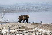 Grizzly bear in shoreline habitat