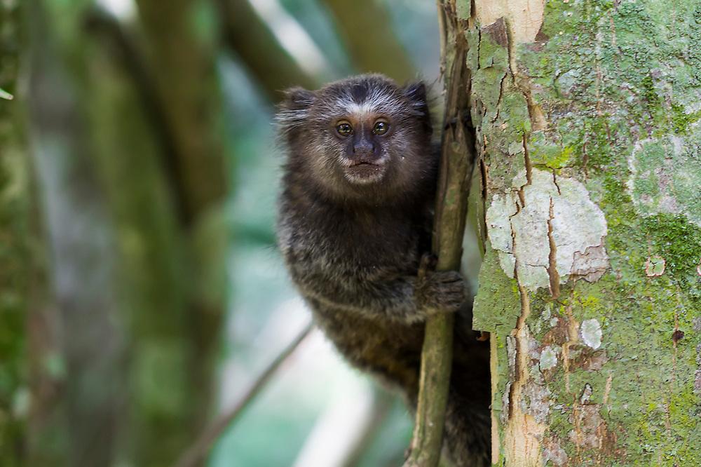 Pygmy Marmoset in the Botanical Garden in Rio De Janeiro, BR
