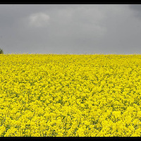 Rapeseed near Kinsale, Co. Cork