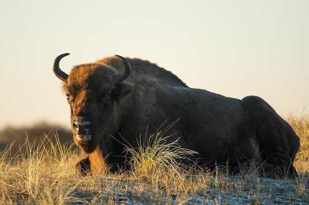 European bison (Bison bonasus) lying down and resting