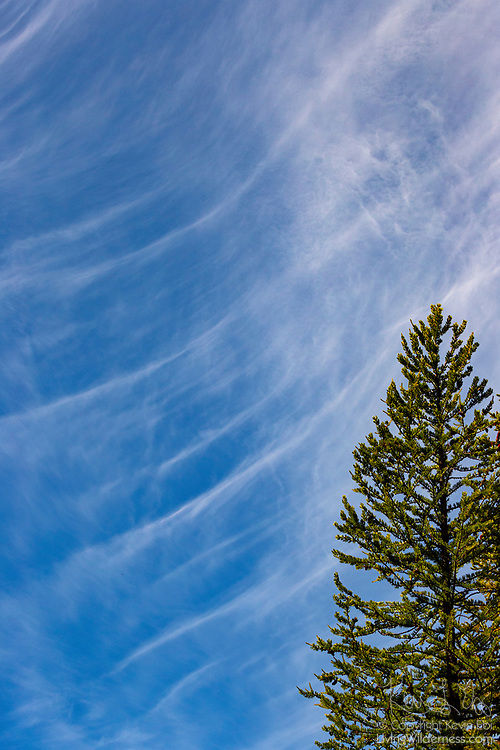 A band of cirrus clouds arcs over a tall Douglas fir (Pseudotsuga menziesii) tree