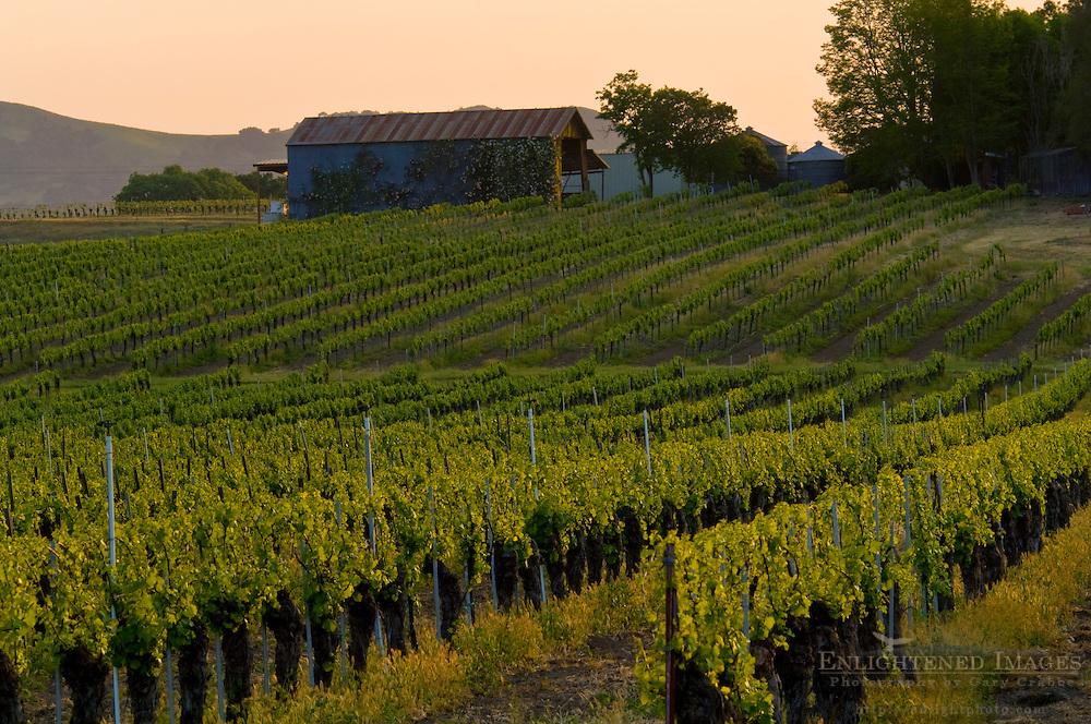 Wine grape vines in Vineyards in the Santa Ynez Valley, Santa Barbara County, California