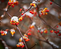 Bittersweet berries. Late Autumn Backyard Nature in New Jersey. Image taken with a Nikon Df camera and 58 mm f/1.4 lens (ISO 100, 58 mm, f/1.4, 1/250 sec).
