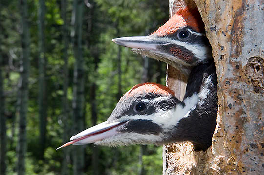 Pileated woodpecker (Dryocopus pileatus) pair, one with tongue sticking out. Montana. Summer.