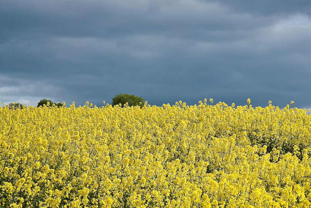 A field of oil seed rape used for bio fuels, Black Isle, Highlands, Scotland,UK
