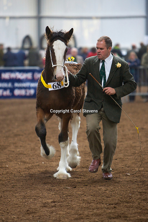 North West and Wales Shire Foal Society <br /> Show 2012<br /> J &amp; A Worthington's Alderley Mastermind   f 14/05/12<br /> Sire   Tree House Prince George<br /> Dam   Hillmoor Rose Marie