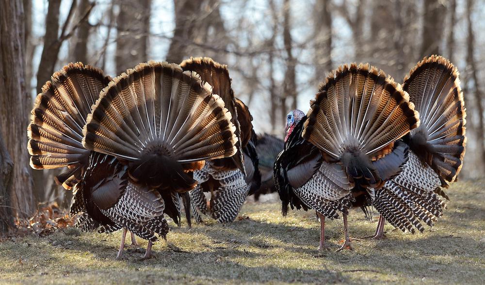 Wild turkeys near a Peoria woodland.