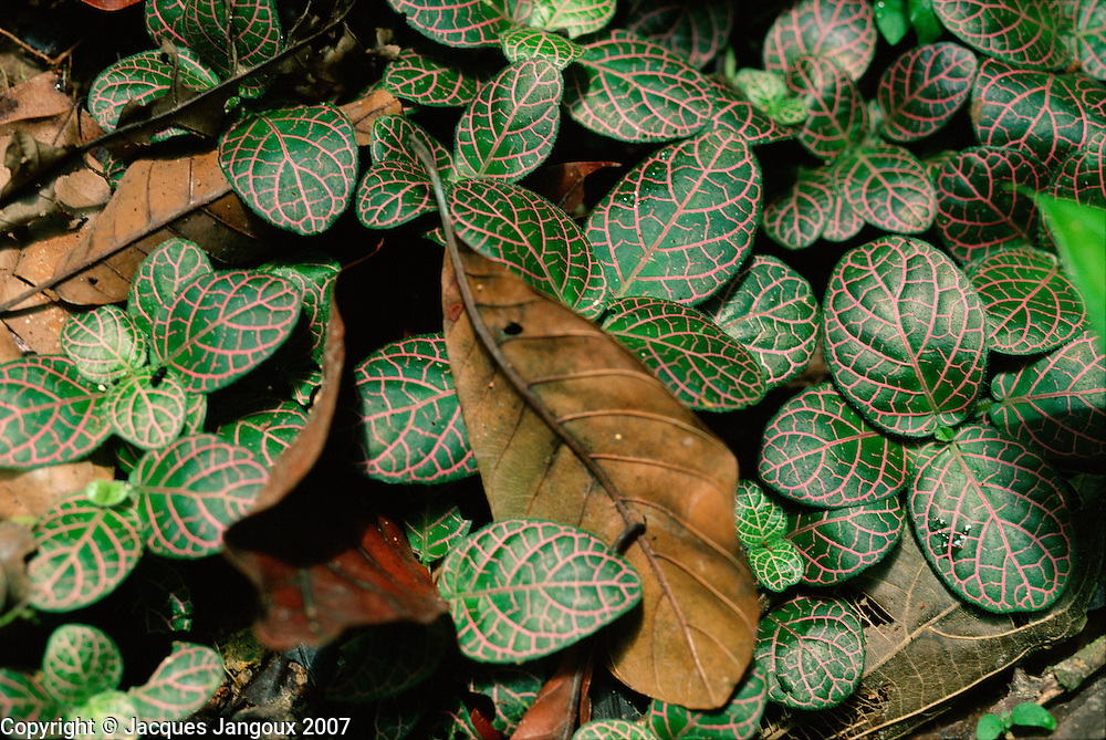 Fittonia sp., family Acanthaceae, trailing plant on floor of rainforest in Loreto Departamento , Amazon region, Peru, South America