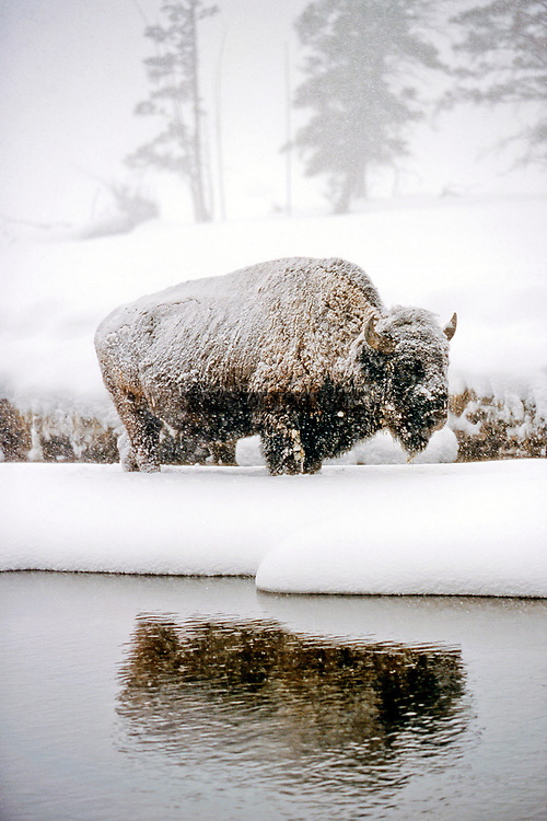 Bison in Yellowstone National Park surviving the winter along a river in the snow.  Limited Edition - 150
