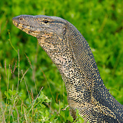 Water monitor lizard, Varanus salvator,