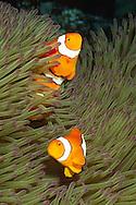 Pair of Clown Anemonefish live in Magnificant Sea Anemone.(Amphiprion percula in Heteractis magnifica).Solomon Islands