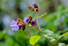 Longkruid, Pulmonaria