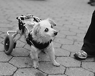 Caryn Rosenthal's Dog Jax doesn't let a little disability slow him down!