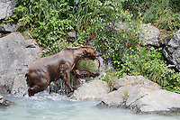 USA, Alaska, Brown Bear with salmon in mouth by water edge