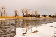Canada Geese, (Branta canadensis), landing on Yellowstone River, Paradise Valley, south of Livingston, Montana