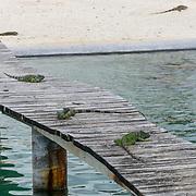 Iguanas sunbathing at Cayman Turtle Farm. Grand Cayman Island.