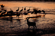 A deer stands in the shallow water of the Platte River in Nebraska to look at Sandhill Cranes who have gathered their during their annual migration north.