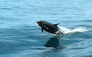 Los delfínidos (Delphinidae), llamados normalmente delfines oceánicos (a diferencia de los platanistoideos o delfines de río) son una familia de cetáceos odontocetos bastante heterogénea, que abarca unas 34 especies.<br /> Están entre las especies más inteligentes que habitan el planeta. <br /> Se encuentran relativamente cerca de las costas y a menudo interactúan con el ser humano.<br /> Como otros cetáceos, los delfines utilizan los sonidos, la danza y el salto para comunicarse, orientarse y alcanzar sus presas; además utilizan la ecolocalización. Hoy en día, las principales amenazas a las que están expuestos son de naturaleza antrópica. Adems muchas especies han sido cazadas a lo largo de la historia por su carne, huesos y grasa. A pesar de que la caza comercial de ballenas fue prohibida en 1986, los cazadores furtivos siguen cazando muchos delfines. <br /> También son amenazados por las redes de pesca, la contaminación y otras situaciones y condiciones que pueden ser controladas por los seres humanos.<br /> <br /> Se encuentran alrededor del mundo en las aguas templadas y tropicales, estando ausentes solo a partir de 45 grados de los polos en cualquier hemisferio.<br /> <br /> En el Océano Pacífico, los delfines se encuentran desde el norte de Japón hasta Australia y del Sur de California hasta Chile.<br /> <br /> ©Alejandro Balaguer/Fundación Albatros Media.
