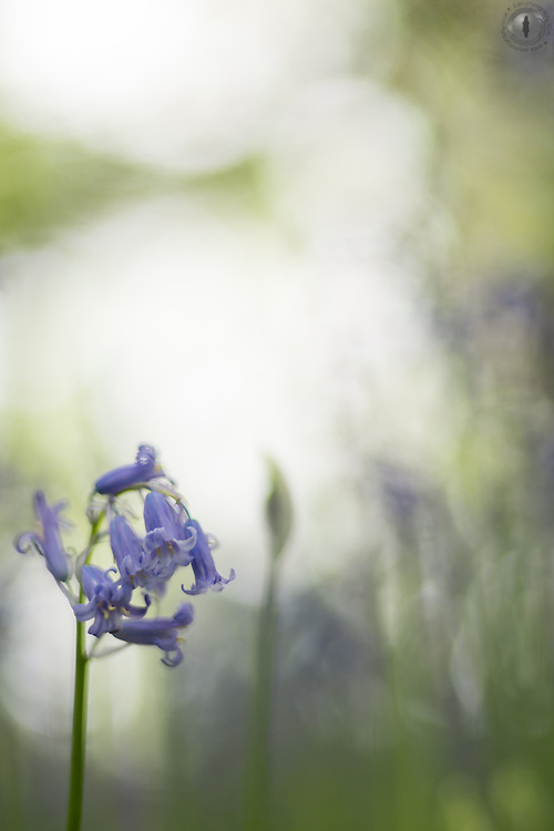 A bluebell portrait, taken on a cloudy day in Bristol, UK.