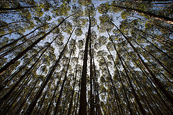 Eucalyptus plantations cover much of the fertile lands of Northern Esp&iacute;rito Santo State.<br /> Aracruz city, Esp&iacute;rito Santo State - Brazil.