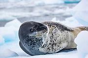 Leopard seal (Hydrurga leptonyx) on ice floe, Antarctica.