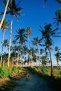 Coconut Plantation, Cape Mulinuu, Savaii, Samoa<br />