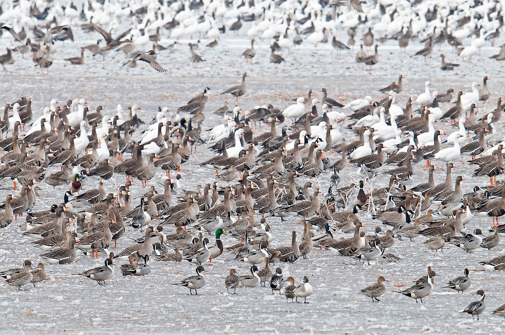 White-fronted Geese, Anser albifrons, Brown County, South Dakota