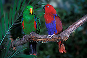 Eclectus parrot pair (Eclectus roratus) note the hen (female) on the right and the cock (male) on the left are sexually dimorphic. Early european naturalists thought these two birds were different species. Range: Solomon Islands, New Guinea, Australia.
