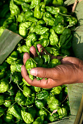 BANGLADESH DHAKA KAWRAN BAZAAR 3MARB05 - Fresh and very hot green chillies (Bombai murish) on sale at the Kawran Bazaar vegetable market. The Bazaar has been in the Tejgaon area for at least 30 years and is one of the largest markets in Dhaka city...jre/Photo by Jiri Rezac..© Jiri Rezac 2005..Contact: +44 (0) 7050 110 417.Mobile:  +44 (0) 7801 337 683.Office:  +44 (0) 20 8968 9635..Email:   jiri@jirirezac.com.Web:    www.jirirezac.com..© All images Jiri Rezac 2005 - All rights reserved.