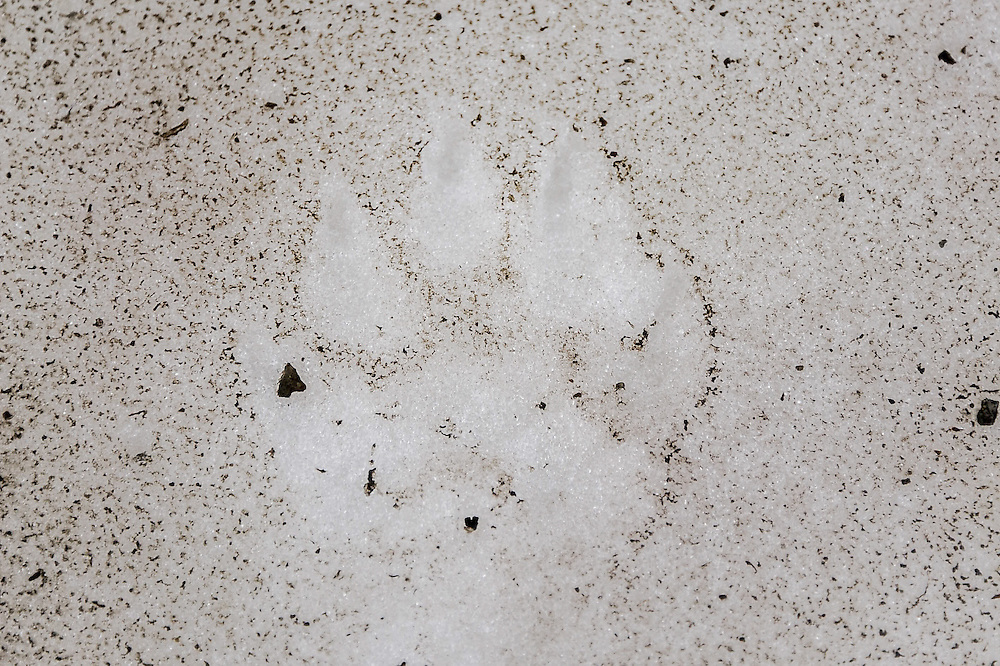 Wolverine tracks in the snowfield at the base of Mount Clements at Logan Pass, Glacier National Park, Montana , Tuesday, October 7, 2014. According to Dan Fagre Ph.D. wolverine are snow-dependent carnivores and snow is no longer lasting in the Logan Pass area.