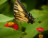 Tiger Swallowtail butterfly feeding on a Zinnia Flower. Image taken with a Nikon 1 V3 camera and 70-300 mm VR lens