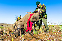 White Rhino capture and notching operation, Phinda Private Game Reserve, Zululand, KwaZulu Natal, South Africa