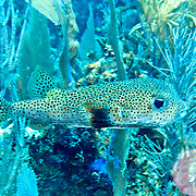 Porcupinefish inhabit reefs, often hovering in open water, occasionally near cave openings and recesses in Tropical West Atlantic, also circumtropical; picture taken Little Cayman.