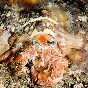 Anemone Hermit Crab Dardanus pedunculatus at Dumaguette, southern Philippines