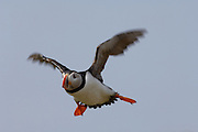 Seahouses - Friday, June 30, 2006: Atlantic Puffin (Fratercula arctica) in flight over the Farne Islands. The Atlantic Puffin is a seabird in the auk family. The Farne Islands lie two to three miles off the Northumberland coast midway between the fishing village of Seahouses and Bamburgh Castle. In addition to being a famous Sea Bird Sanctuary in the British Isles they also have a large colony of Atlantic or Grey Seals. (Photo by Peter Horrell / www.peterhorrell.com).