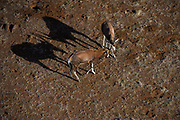 Blesbok (Damaliscus dorcas phillipsi)<br /> Private game ranch<br /> Great Karoo<br /> SOUTH AFRICA