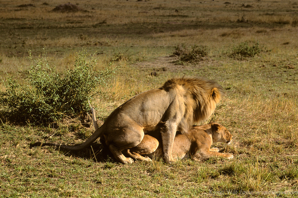 Africa, Kenya, Maasai Mara. A pair of lions mating in the Maasai Mara.