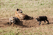 Spotted Hyena (Crocuta crocuta) with young cubs near their den. Photographed in Tanzania