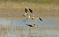 A group of American Avocets fly into a pond in a local wetland.