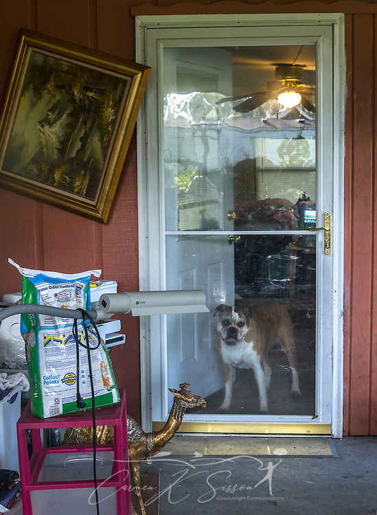 Honey, a nine-year-old boxer dog, looks out the sunroom door, Aug. 22, 2016, in Baton Rouge, La. Honey and her owner, Fay McDowell of Zoar Baptist Church, fled from their home when water began rising during torrential rainfall in Louisiana, Aug. 12-15, 2016. The home took on three feet of flood water and is currently uninhabitabe. McDowell and her pets are living in the 12-by-18-foot sunroom until Southern Baptist Disaster Relief crews complete mud out and repairs. (Photo by Carmen K. Sisson)