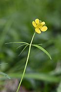 Goldilocks Buttercup - Ranunculus auricomus