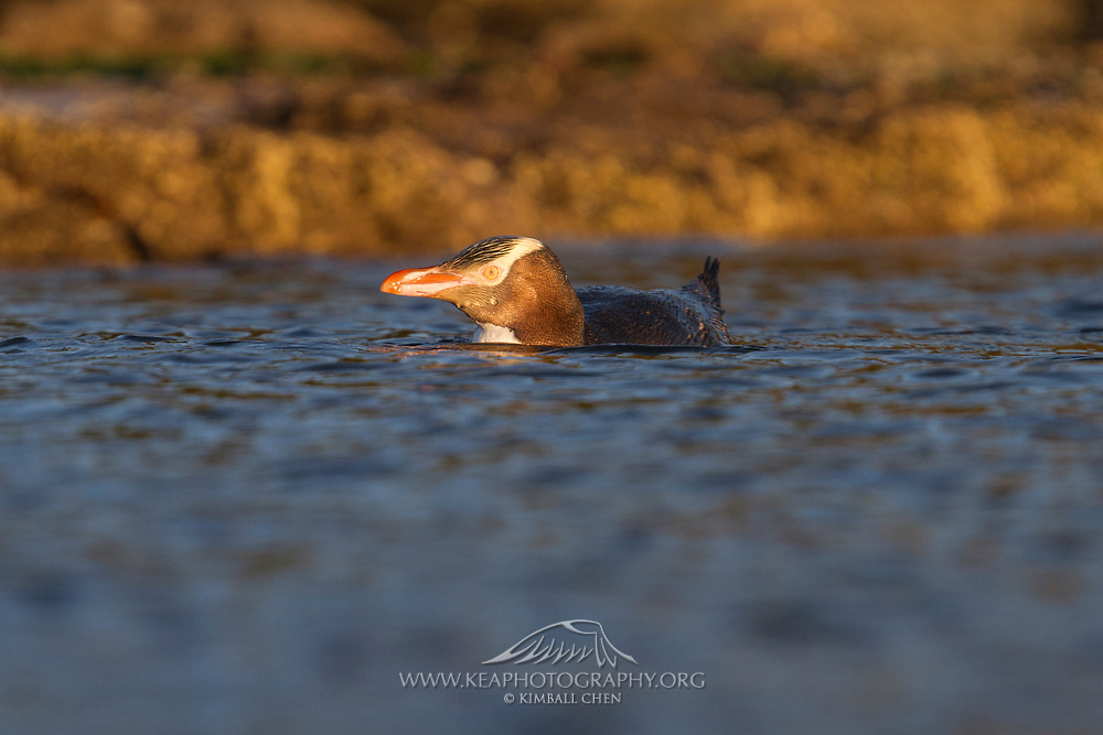 Eye-level with an endangered yellow-eyed penguin, swimming out to the ocean at Curio Bay, New Zealand