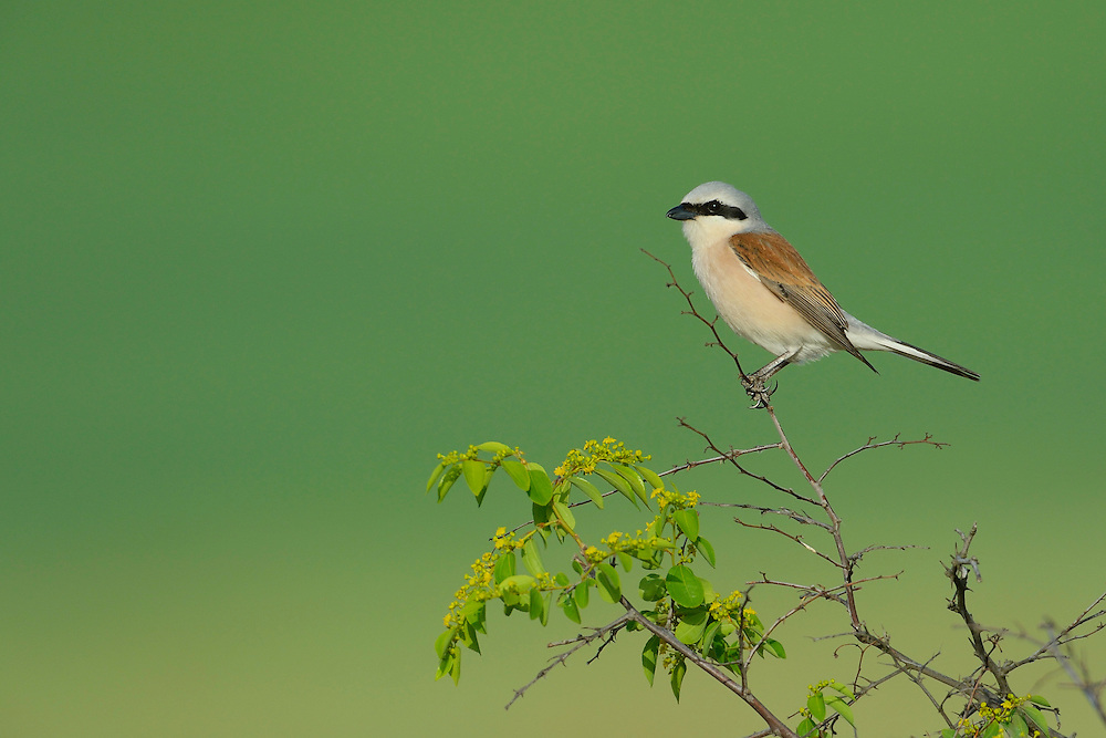 Red-backed shrike, Lanius collurio, Eastern Rhodope mountains, Bulgaria