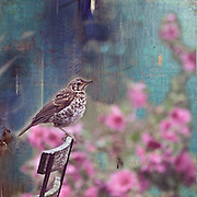 A meditative thrush sits very still on the back of a chair in the summer garden.<br /> <br /> Available as a Limited Edition (100) signed and numbered giclee print (small) 7 x 7 inches on A4 100% cotton rag paper. Printed in the Foxglove Lane Studio using 100% cotton rag fine art paper.