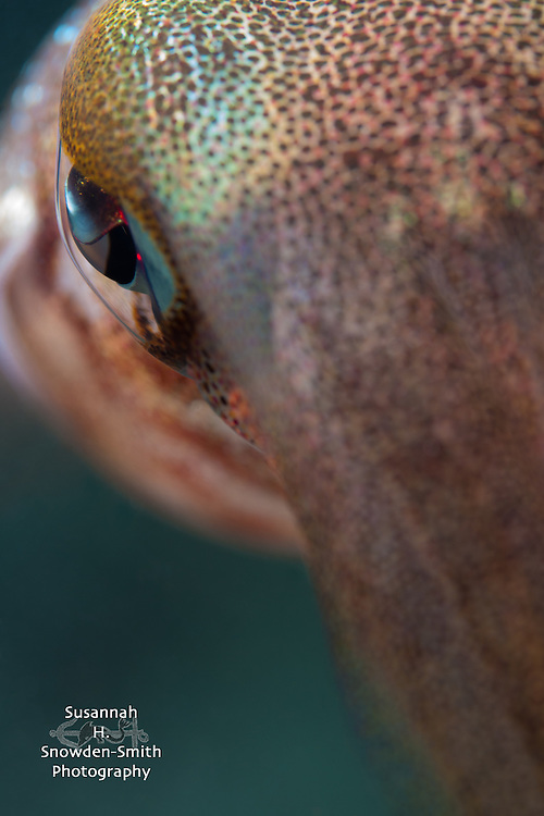 """Eye Of The Squid"" - Caribbean reef squid, Grand Cayman"