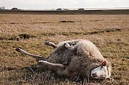 Een schaap dat op zijn rug ligt en niet kan opstaan, noemt men een verwenteld schaap. Directe hulp is dan noodzakelijk. Een verwenteld schaap moet rustig gedraaid en overeind geholpen worden, want de ingewanden drukken bij rugligging op de longen en de ruggengraat, waardoor het dier na verloop van tijd zal stikken. Een verwenteld schaap dat te snel of ruw omgerold en op de poten gezet wordt, loopt een grote kans op een maagkanteling (maagtorsie). Het gas dat, zoals bij alle herkauwers, in grote hoeveelheden in het maagdarmstelsel gevormd wordt, kan dan niet ontsnappen, wat tot een coma en uiteindelijk de dood kan leiden. (Bron: Wikipedia).