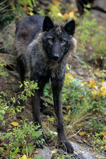 Gray Wolf, (Canis lupus) Adult in western Rocky mountains. Montana. Captive Animal.