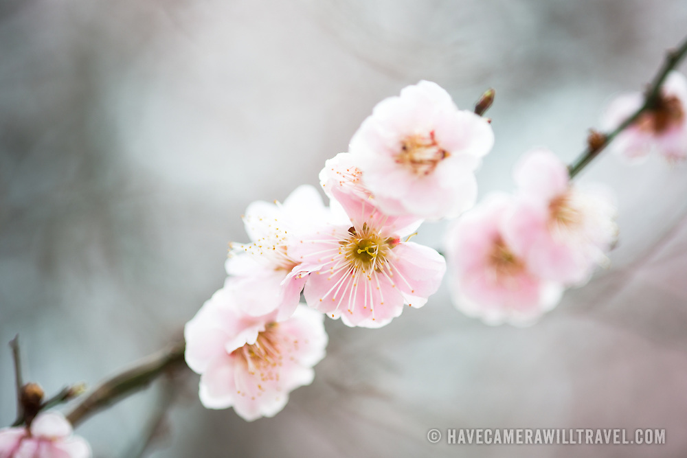 Some of the early fruit and cherry blossoms blooming in Washington DC.
